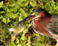 Blue & Green Heron