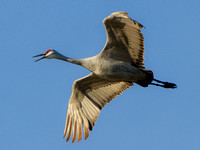 Sandhill Crane Migration Dec. 2012